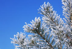 Fir tree with hoarfrost Stock Photography