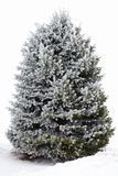 A fir tree in hoarfrost. Hoarfrost covered fir tree on white background looking like an undecorated Christmas tree Royalty Free Stock Photo