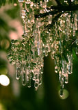 Fir tree icicles. Icicles in fir tree, some encasing the needles royalty free stock photo