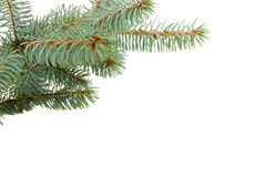 Fir tree isolated on white.  Stock Image