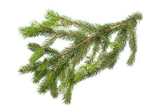 Fir tree Royalty Free Stock Photo