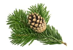 Fir tree isolated on white background royalty free stock photo