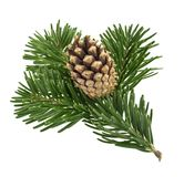 Fir tree isolated on white background.  stock photo