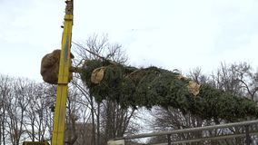 Fir tree with its roots wrapped and branches tied up is lifted by crane. Preparing trees for new landscape design in city park. nature, urban life and stock footage