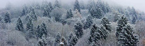 Fir-tree landscape panorama Royalty Free Stock Photo