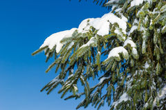 Fir tree leaves convered in snow. Snow settles onto pine tree leaves with a blue sky background royalty free stock photos