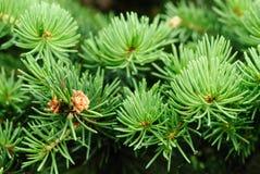 Fir tree leaves stock image