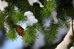 Fir tree background winter forest day Stock Image
