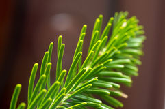 Fir-tree macro photo royalty free stock image