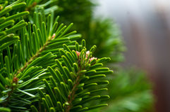Fir-tree macro photo stock photos