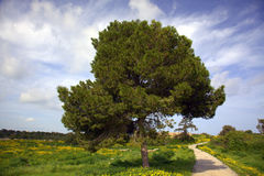 Fir tree in a meadow Stock Images