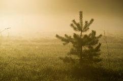 Fir tree in misty countryside Stock Photos