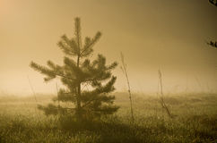 Fir tree in misty countryside Royalty Free Stock Photography