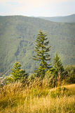 Fir-tree in mountains. Fir-tree vgor of the Carpathians, an ideal background for advertizing round of operators royalty free stock photos