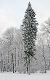 Fir-tree near deciduous trees in the winter Royalty Free Stock Photography