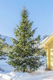 Fir-tree near the wooden house Royalty Free Stock Photo