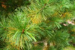 Fir tree needles branch in early autumn. Evergreen tree royalty free stock image
