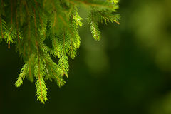 Fir tree needles on branch. Nature background of wild forest in sunny day. Spruce Stock Image