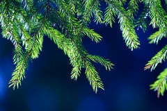 Fir tree needles on branch. Nature background of wild forest in sunny day. Spruce Royalty Free Stock Images