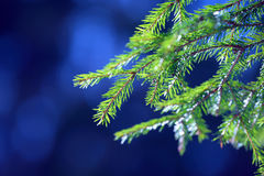 Fir tree needles on branch. Nature background of wild forest in sunny day. Spruce Stock Photo