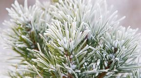 Fir tree needles with snow Royalty Free Stock Photo