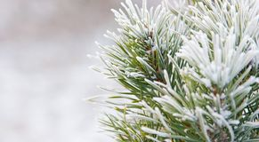 Fir tree needles with snow close up Royalty Free Stock Images