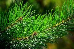 Fir tree. Needles in sunlight Stock Photo