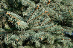 Fir- tree needles Stock Image