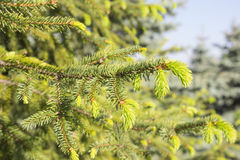 Fir tree new green needles. Grow Royalty Free Stock Photo