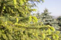 Fir tree new green needles. Grow royalty free stock photos