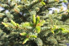 Fir tree new green needles Royalty Free Stock Photos