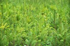 Fir tree nursery, young spruce Stock Image