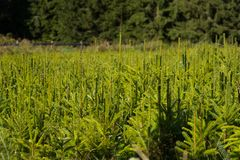 Fir tree nursery, young spruce growing Royalty Free Stock Photos