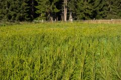 Fir tree nursery, young spruce growing Royalty Free Stock Photography