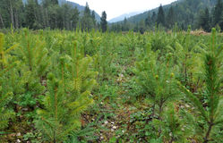 Fir tree nursery, young spruce growing Royalty Free Stock Image