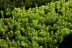 Fir tree nursery, young spruce growing Royalty Free Stock Images