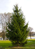 Fir tree in a park Royalty Free Stock Photos