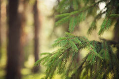 Fir-tree in park Royalty Free Stock Images