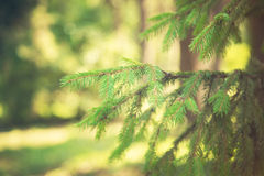 Fir-tree in park Stock Photography