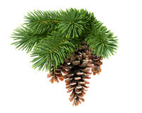 Fir tree with pine-cones. Isolated on white background Royalty Free Stock Photography