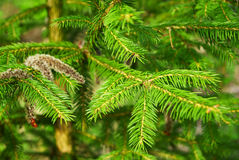 Fir Tree Plant Stock Photo