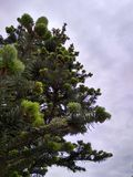 Fir tree reaching for the sky. Fir tree reaching sky, photo, greens, clouds, needles, branches royalty free stock photo