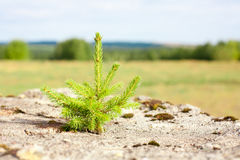 Fir tree on the rock Royalty Free Stock Photography