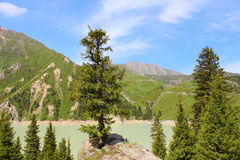 Fir-tree on a rock. Unusual fir-tree on a rock, addictive nature, beautiful view Royalty Free Stock Image