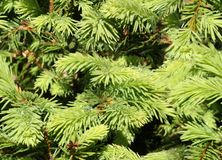 Fir tree seamless background Royalty Free Stock Photography