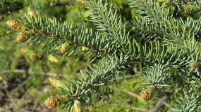 Fir tree. Shoots on the fir tree branch Stock Images