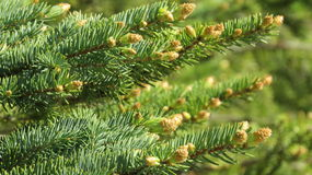 Fir tree. Shoots on the fir tree branch Royalty Free Stock Photography