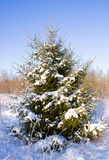 Fir-tree in snow Royalty Free Stock Image