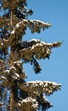 Fir tree with snow. Stock Photo