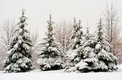 Fir tree in snow Stock Photos